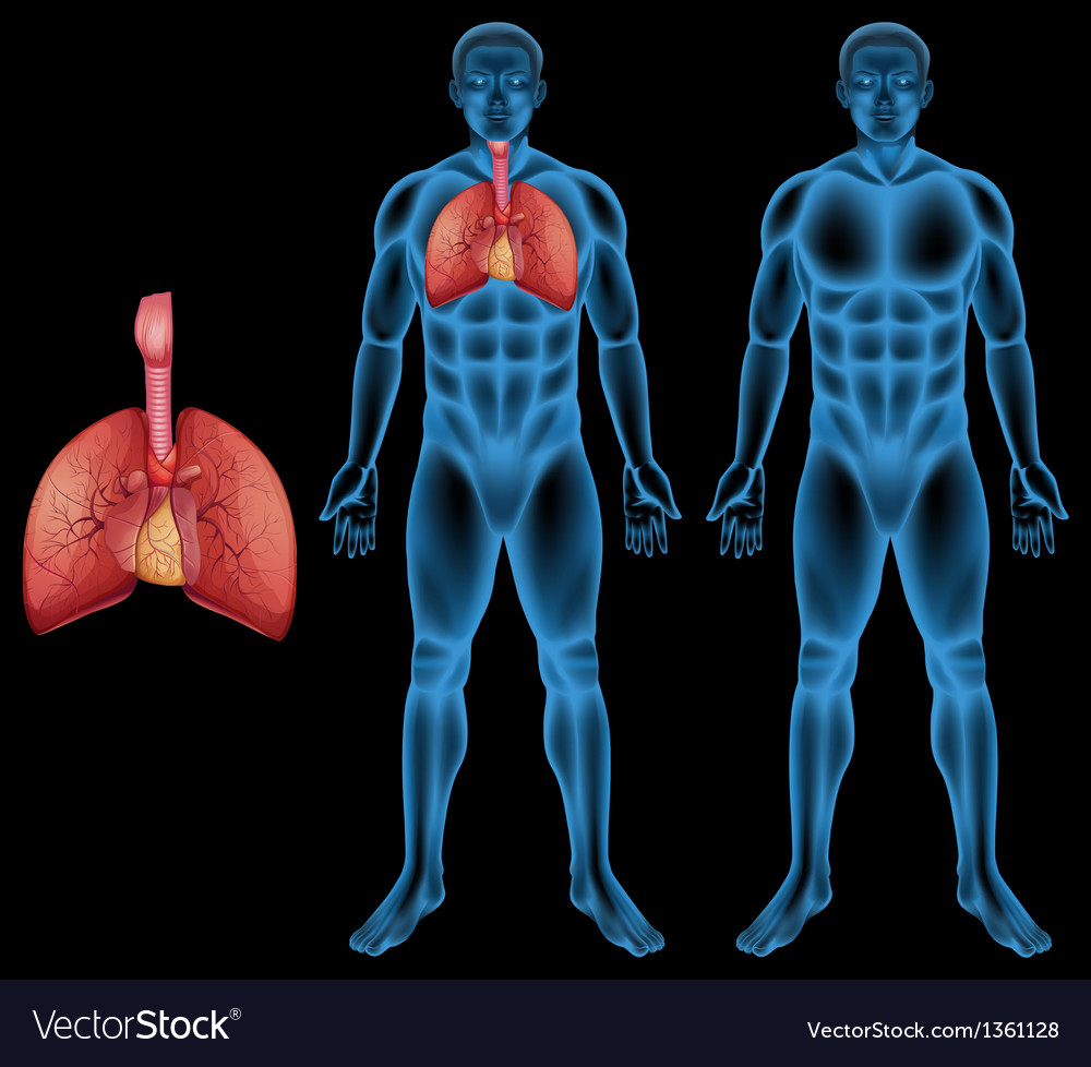 Human respiratory system vector | Price: 1 Credit (USD $1)