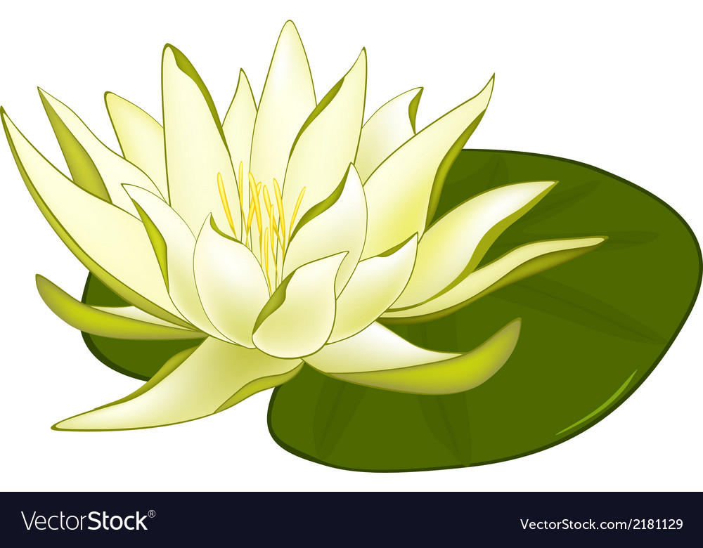 Water lilies vector | Price: 1 Credit (USD $1)