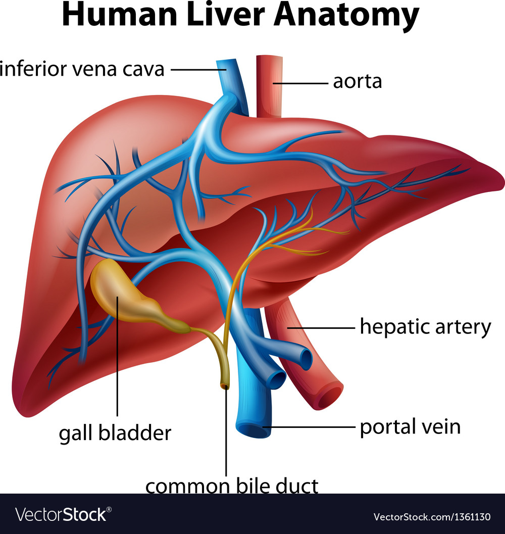 Human liver anatomy vector | Price: 1 Credit (USD $1)