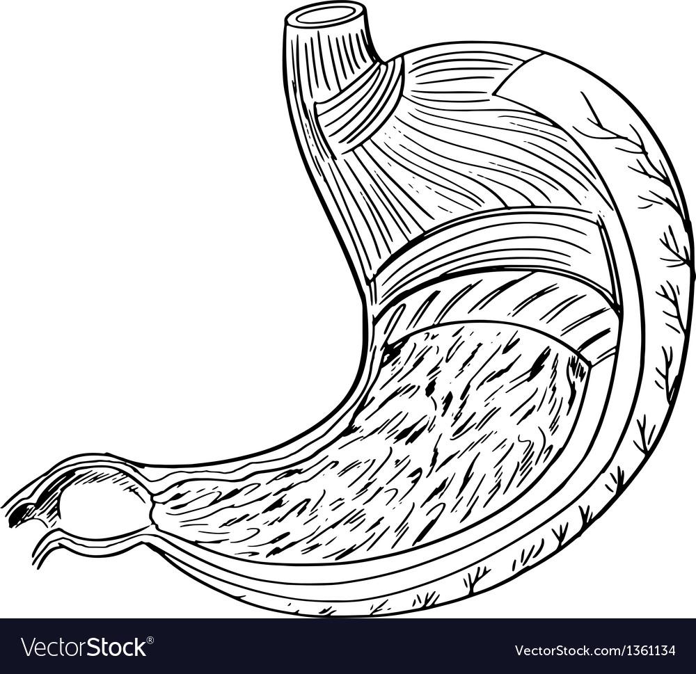 Internal anatomy stomach vector | Price: 1 Credit (USD $1)