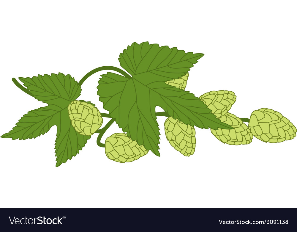 Hop plant with leafs vector | Price: 1 Credit (USD $1)