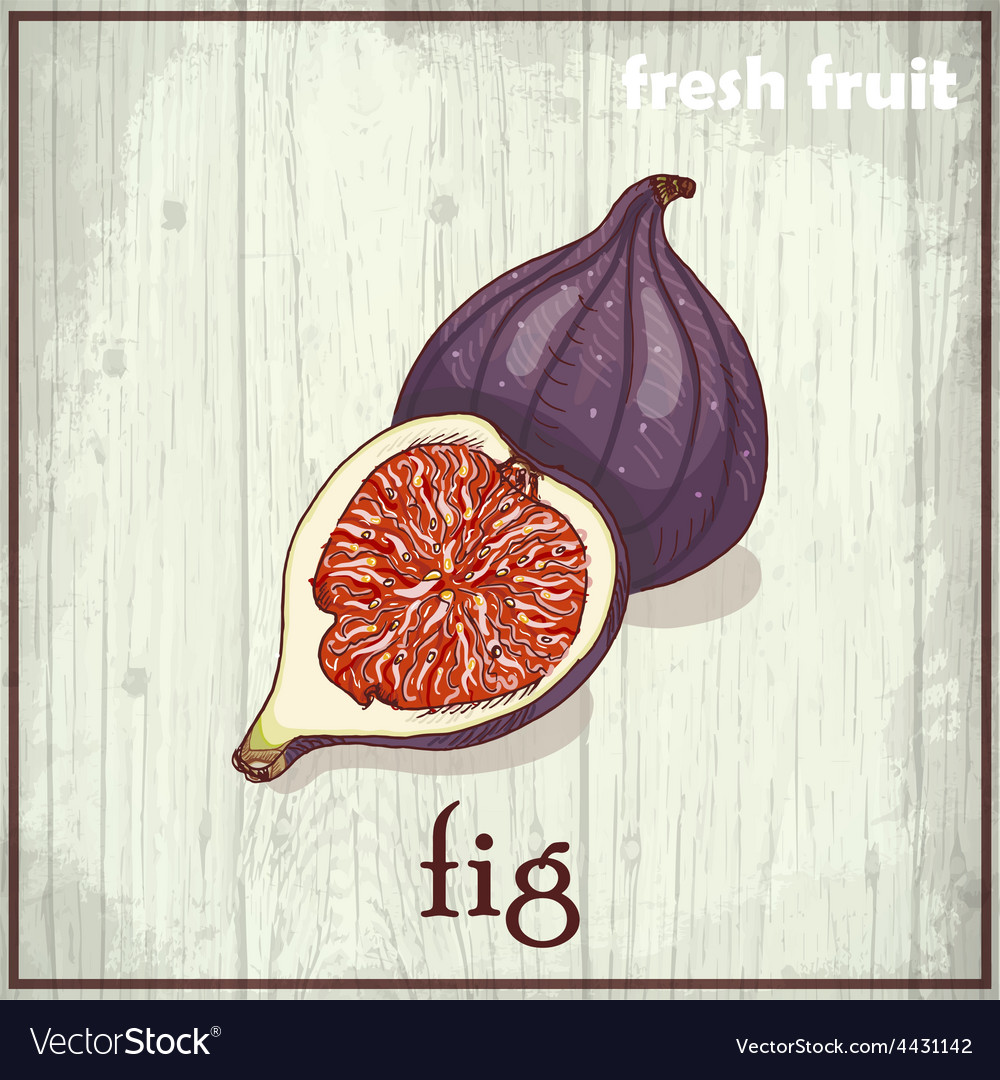 Hand drawing of fig fresh fruit sketch background vector   Price: 1 Credit (USD $1)
