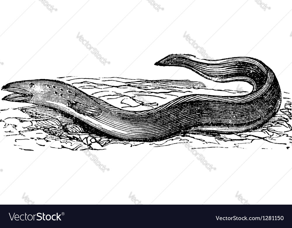 Conger eel vintage engraving vector | Price: 1 Credit (USD $1)