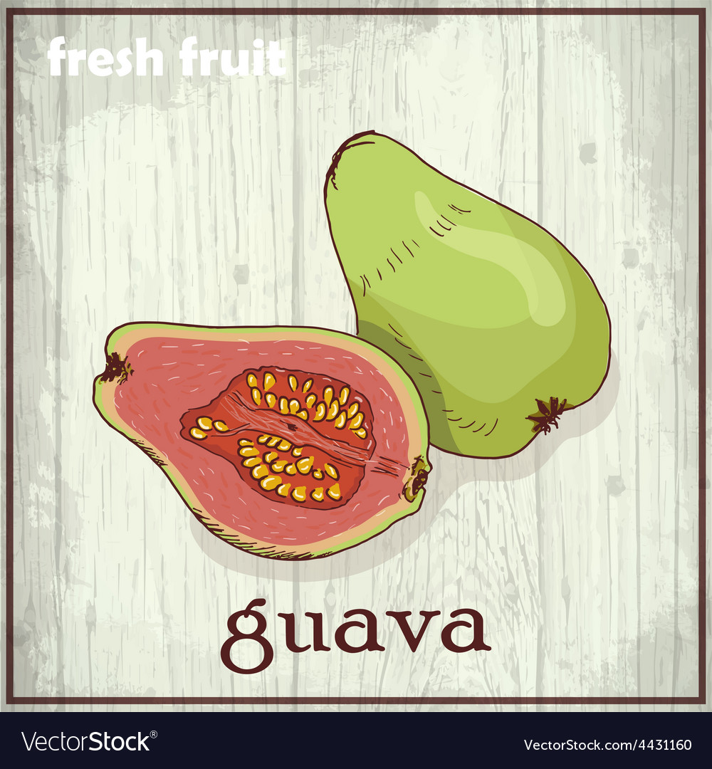Hand drawing of guava fresh fruit sketch vector | Price: 1 Credit (USD $1)