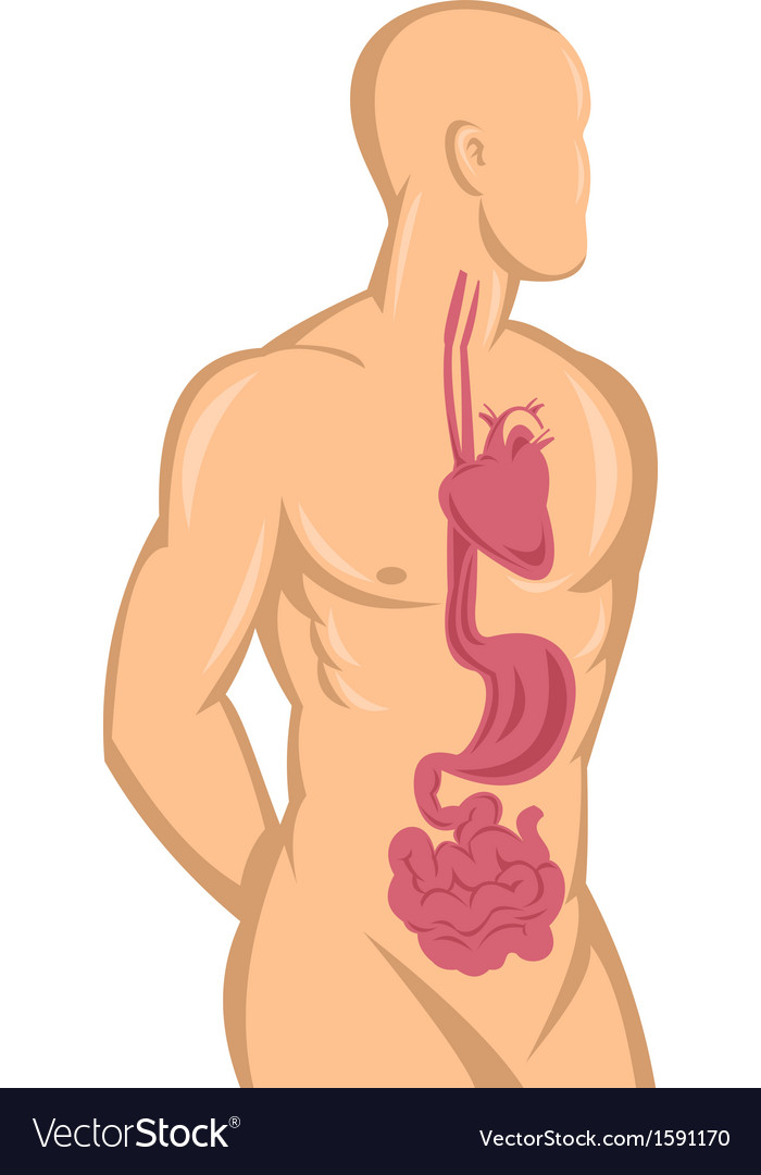 Human anatomy showing heart and digestive system vector | Price: 1 Credit (USD $1)