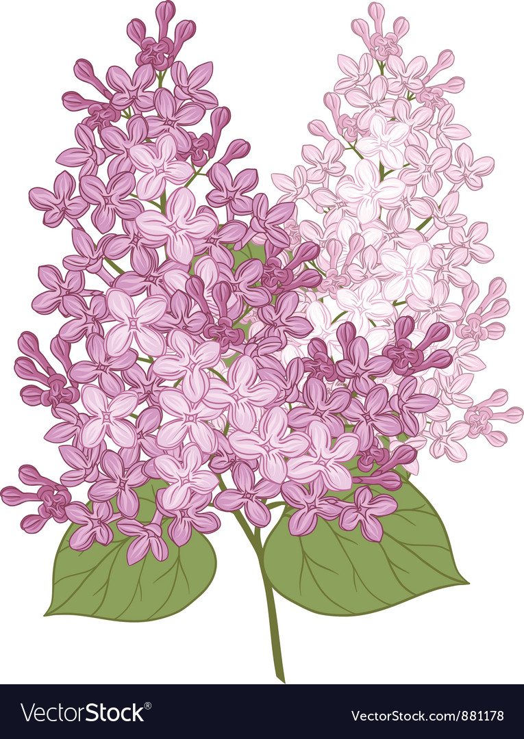 Flowers of lilac for your design vector | Price: 1 Credit (USD $1)