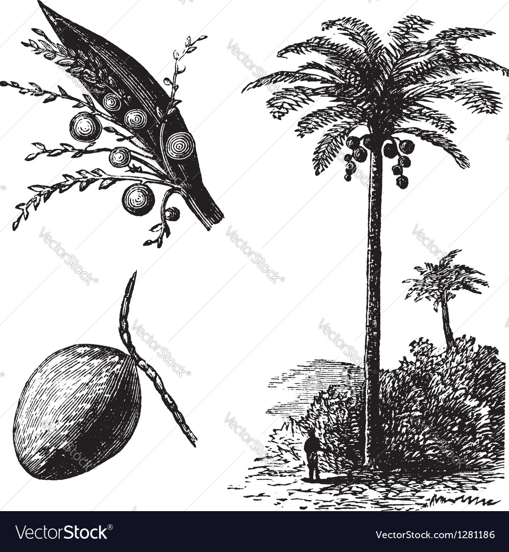 Coconut palm vintage engraving vector | Price: 1 Credit (USD $1)