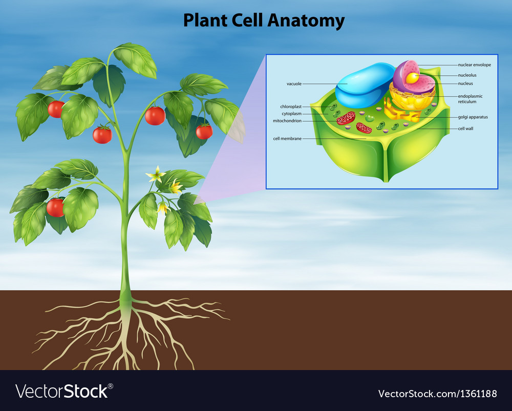 Anatomy plant cell vector | Price: 1 Credit (USD $1)