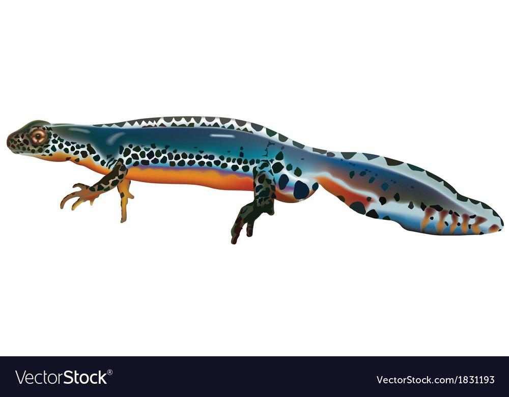 Alpine newt vector | Price: 1 Credit (USD $1)