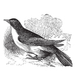 Yellow-billed cuckoo engraving vector