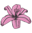 Pink lily vector