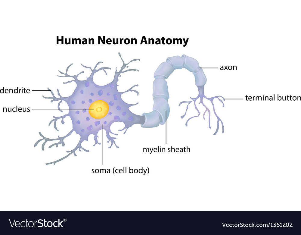 Human neuron anatomy vector | Price: 1 Credit (USD $1)