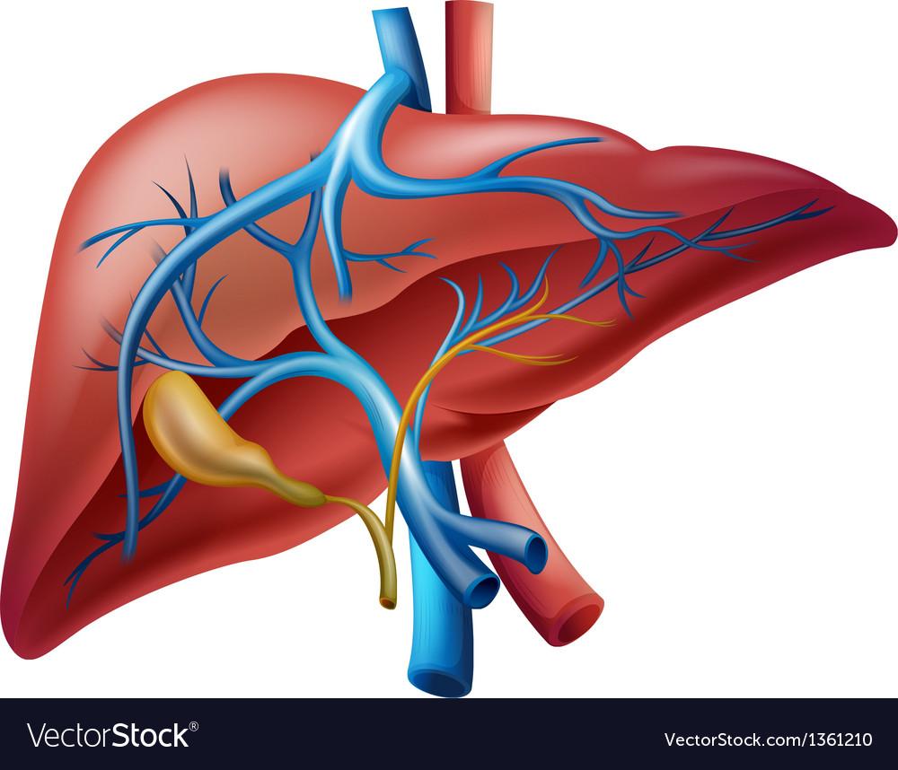 Internal liver vector | Price: 1 Credit (USD $1)