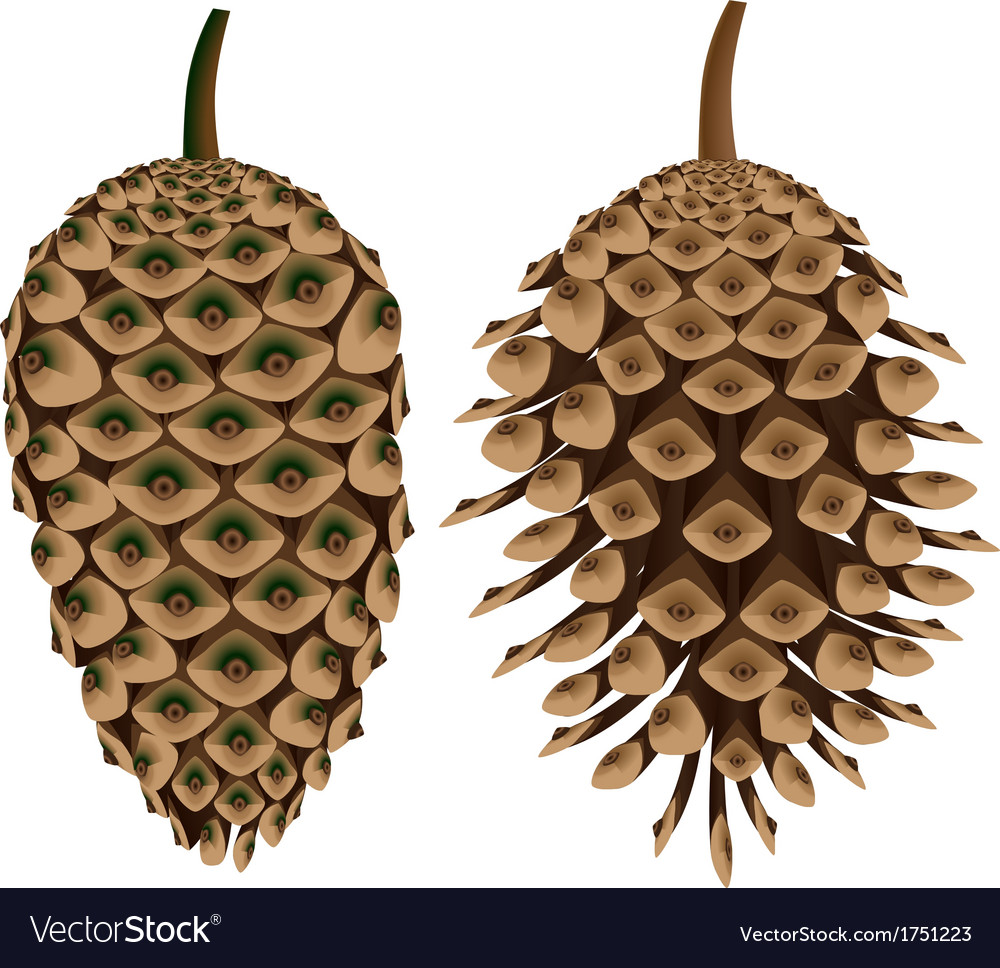 Two pine cones vector | Price: 1 Credit (USD $1)