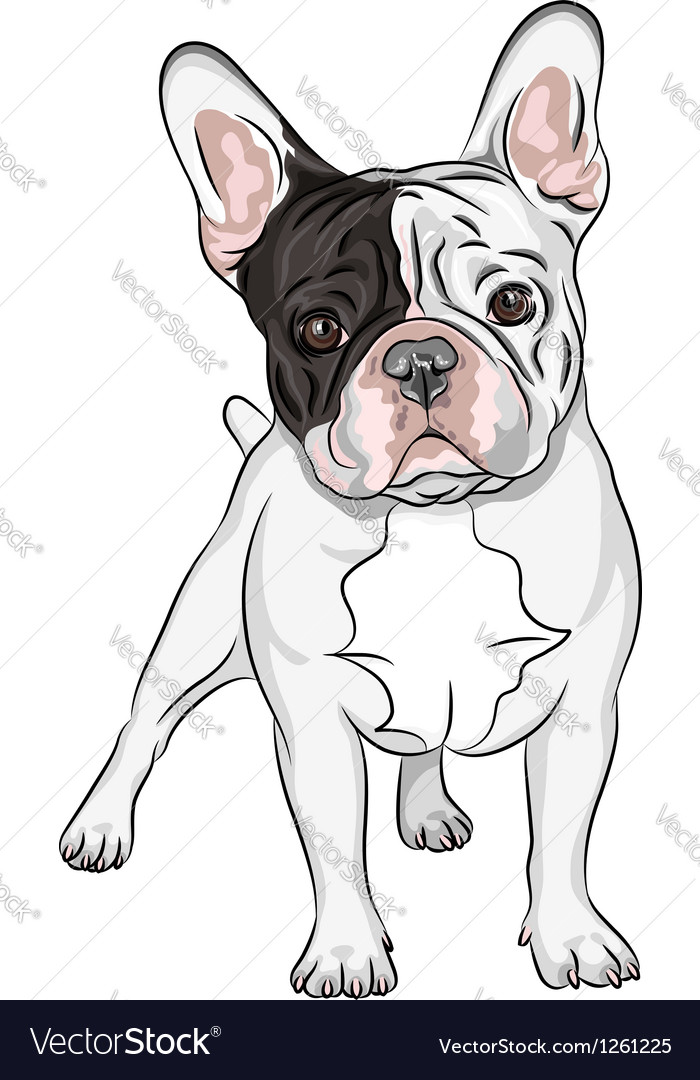 Domestic dog french bulldog breed on the white bac vector | Price: 3 Credit (USD $3)