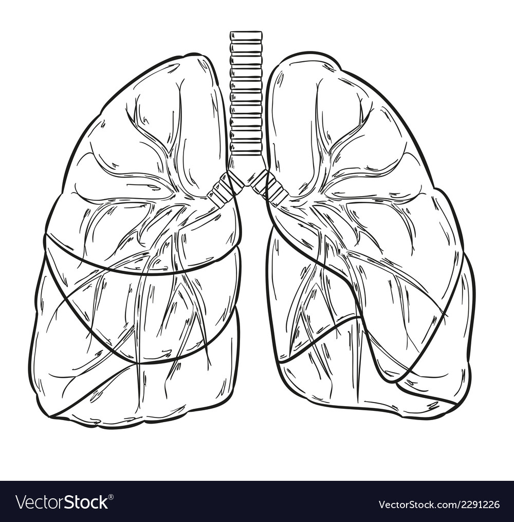 Lungs sketch vector | Price: 1 Credit (USD $1)