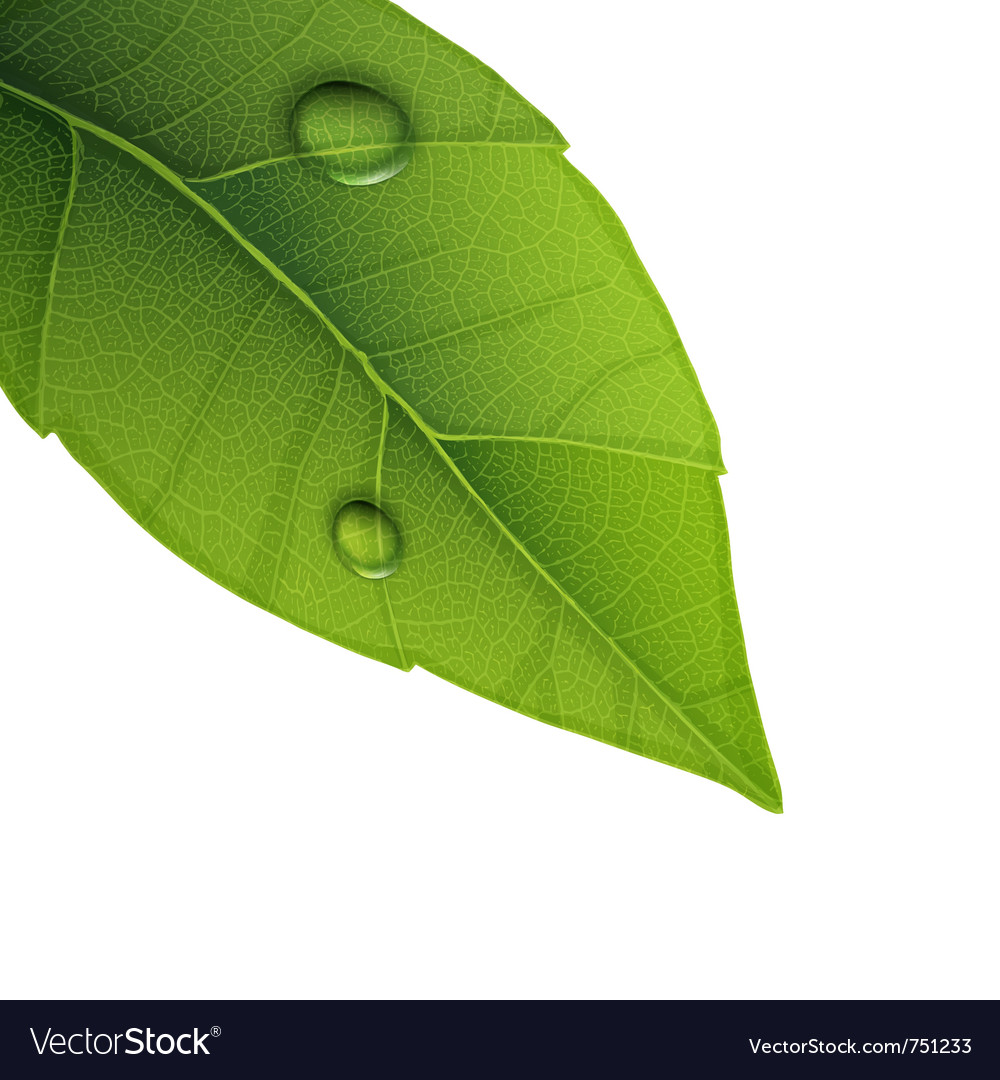 Water droplets on leaf vector | Price: 1 Credit (USD $1)