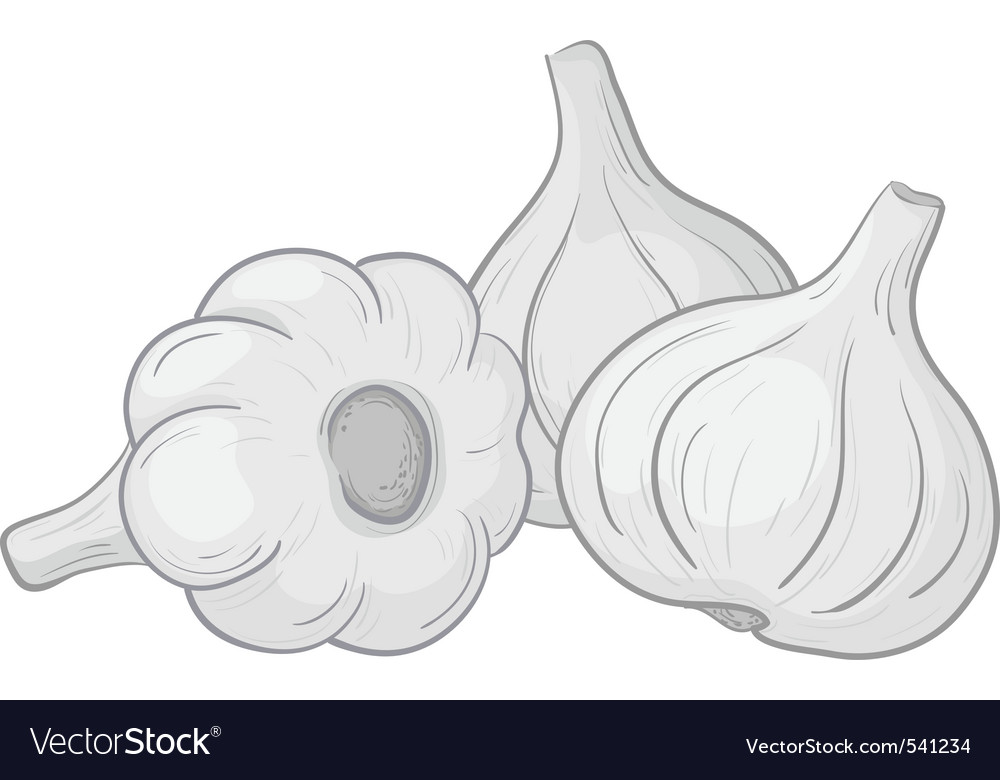 Garlic on white vector | Price: 1 Credit (USD $1)