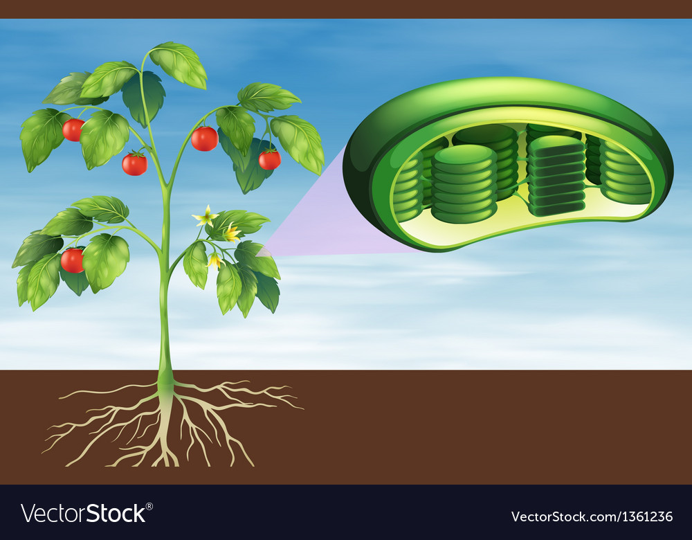 Plant cell anatomy vector | Price: 1 Credit (USD $1)