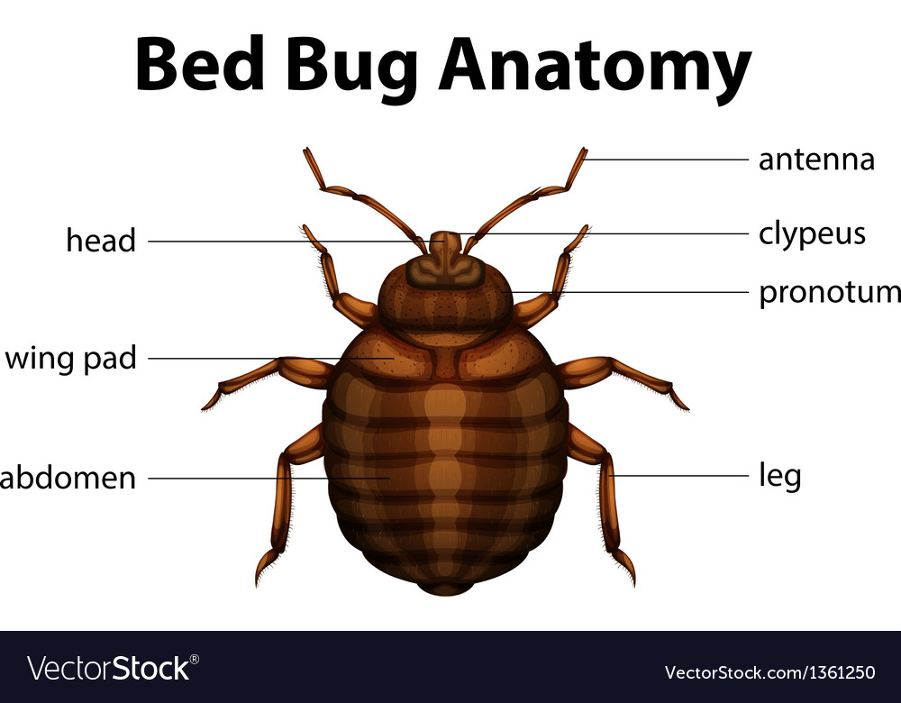 Bed bug anatomy vector | Price: 1 Credit (USD $1)