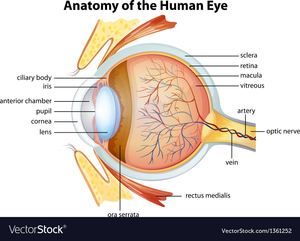 Human eye anatomy vector | Price: 1 Credit (USD $1)