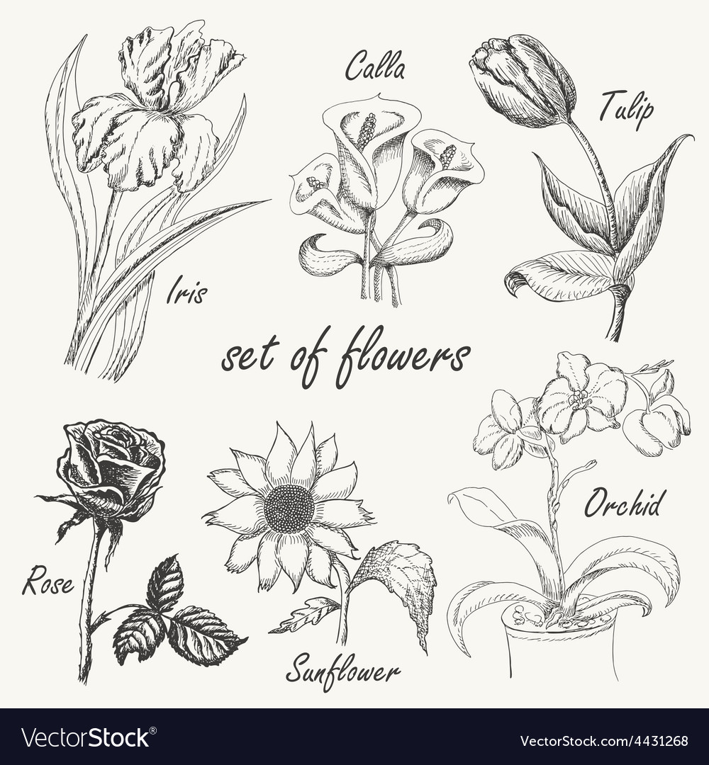 Hand drawing set of flowers iris calla lily tulip vector | Price: 1 Credit (USD $1)