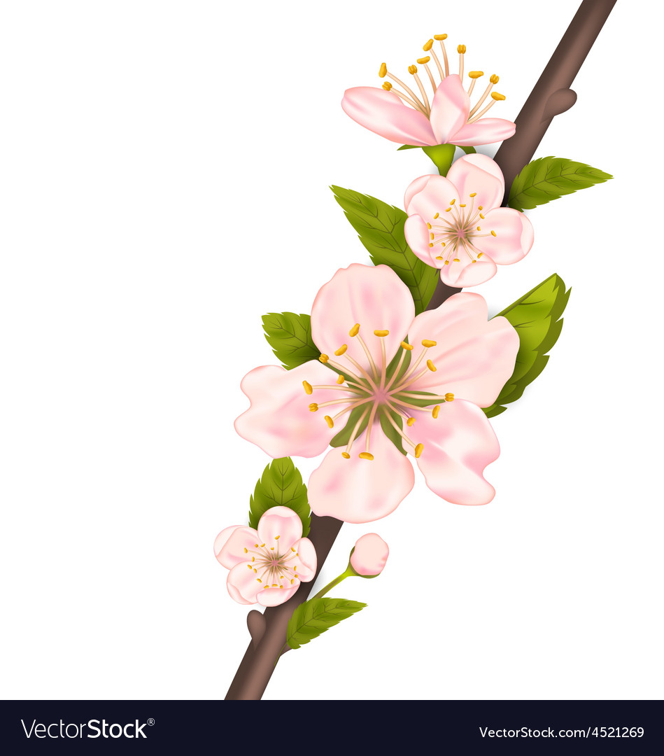 Close up cherry blossom branch of tree vector | Price: 1 Credit (USD $1)