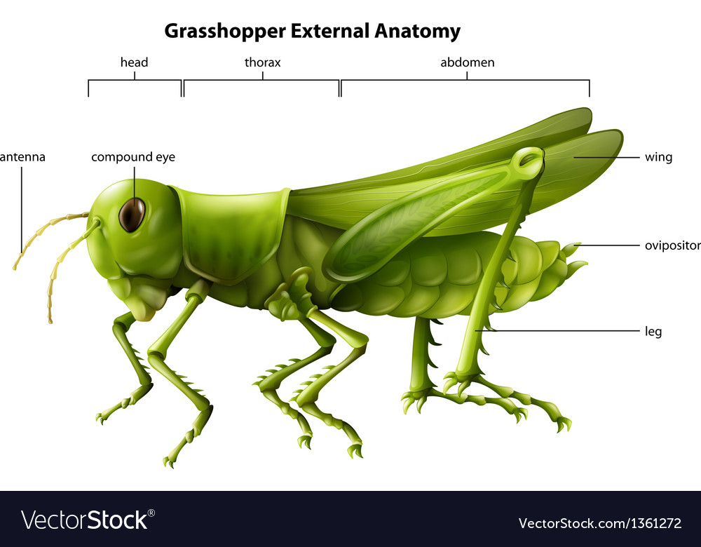 Anatomy grasshopper vector | Price: 1 Credit (USD $1)