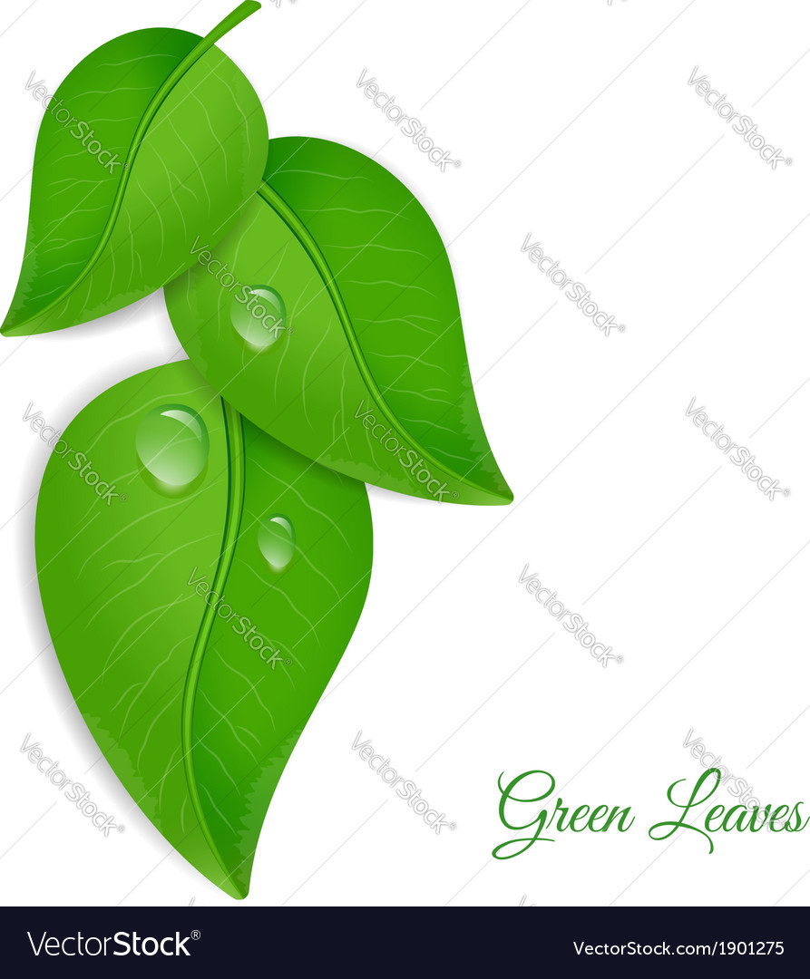 Green leaves with water drops vector | Price: 1 Credit (USD $1)