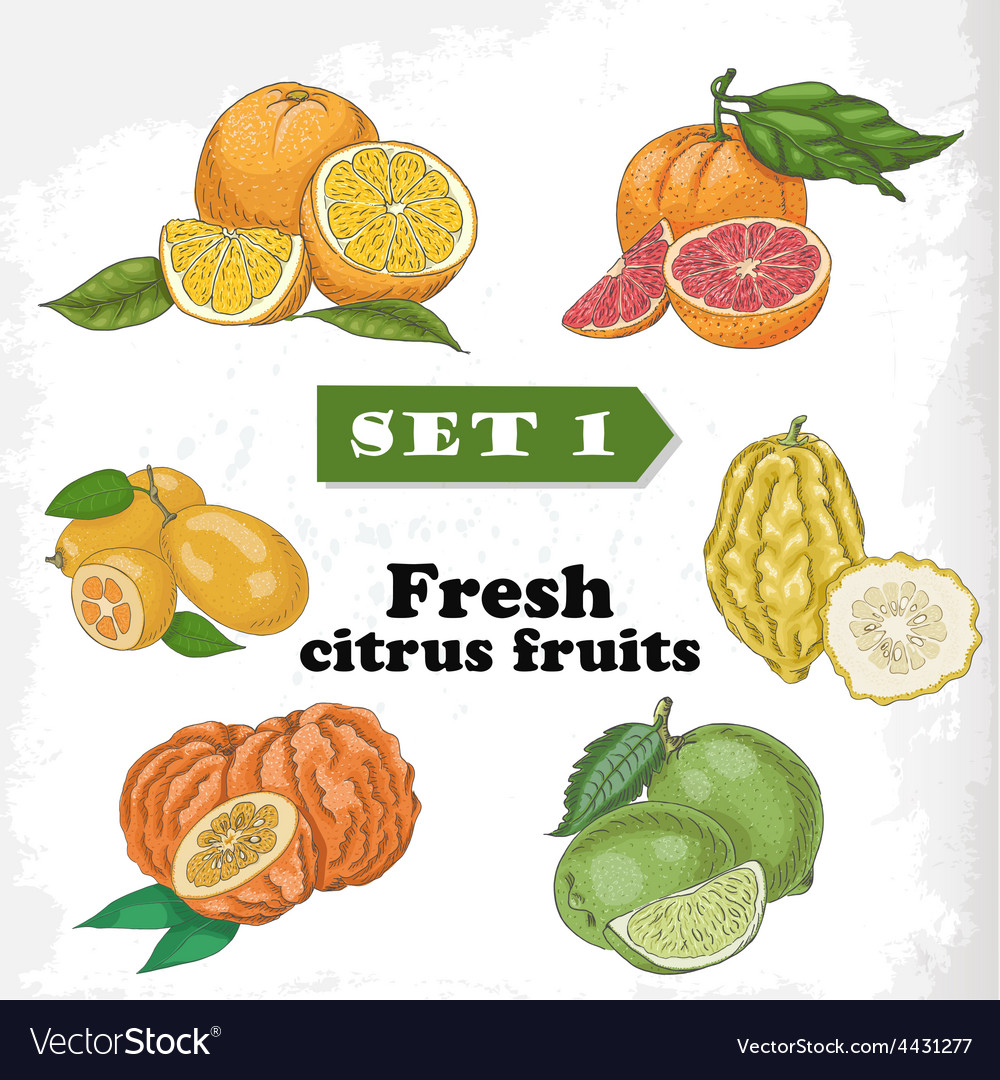 Set 1 fresh citrus fruits of orange grapefruit vector | Price: 1 Credit (USD $1)
