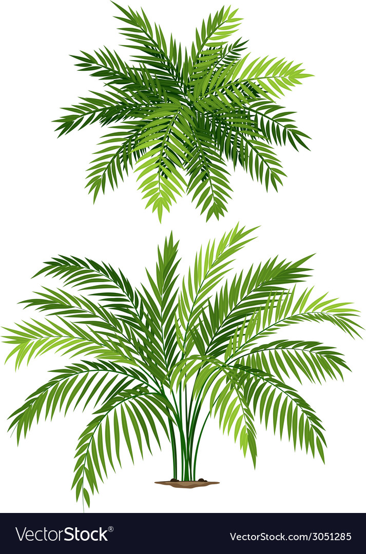 Chamaedorea vector | Price: 1 Credit (USD $1)