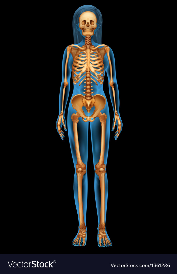 Human skeletal system vector | Price: 1 Credit (USD $1)