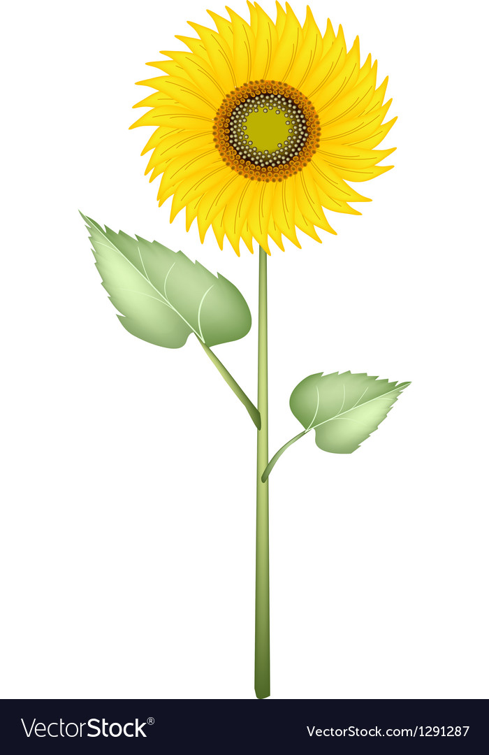 An elegant perfect sunflower on white background vector | Price: 1 Credit (USD $1)