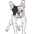 Domestic dog french bulldog breed on the white bac vector