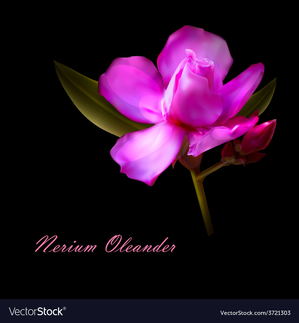 Isolated nerium oleander flower vector | Price: 1 Credit (USD $1)