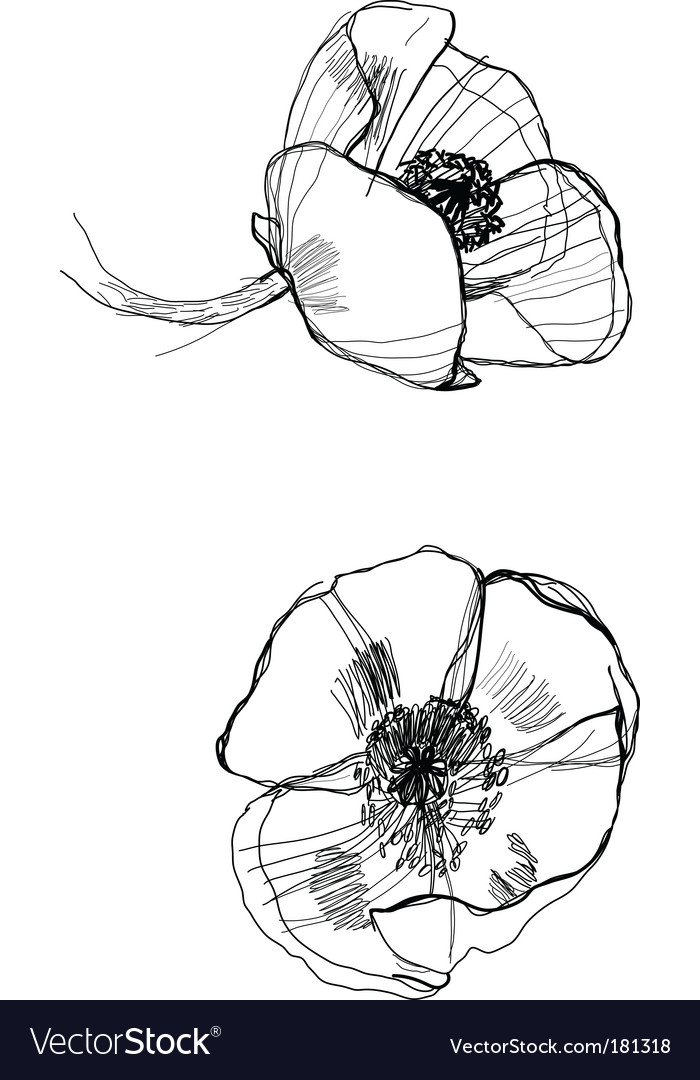 Drawing poppy vector | Price: 1 Credit (USD $1)