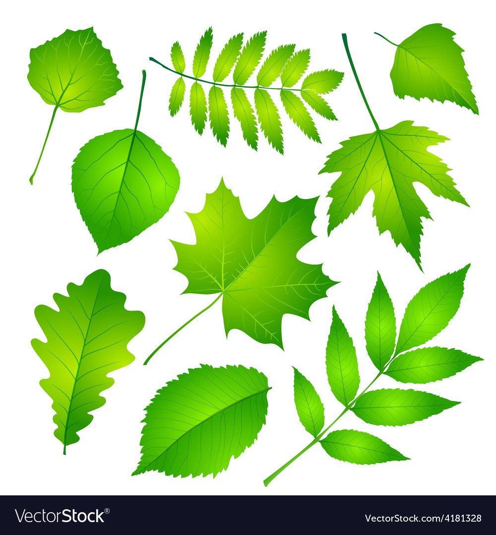 Green leaves set eps 10 vector | Price: 1 Credit (USD $1)