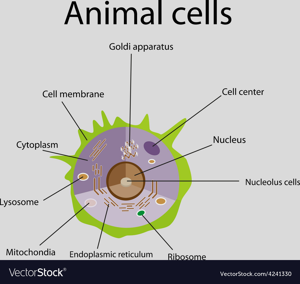 The internal structure of an animal cell vector | Price: 1 Credit (USD $1)