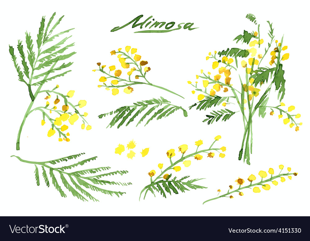 Set of hand-drawn mimosa painted in watercolor vector | Price: 1 Credit (USD $1)