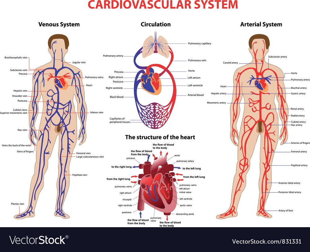 Cardiovascular system vector | Price: 1 Credit (USD $1)
