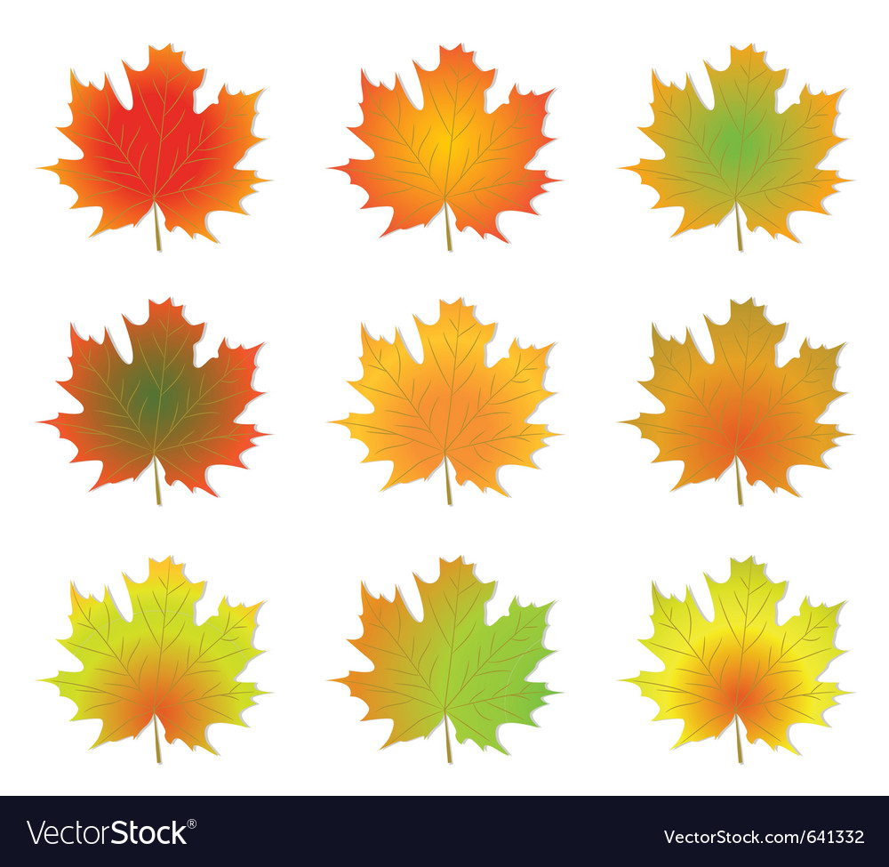Maple autumn leaves vector | Price: 1 Credit (USD $1)