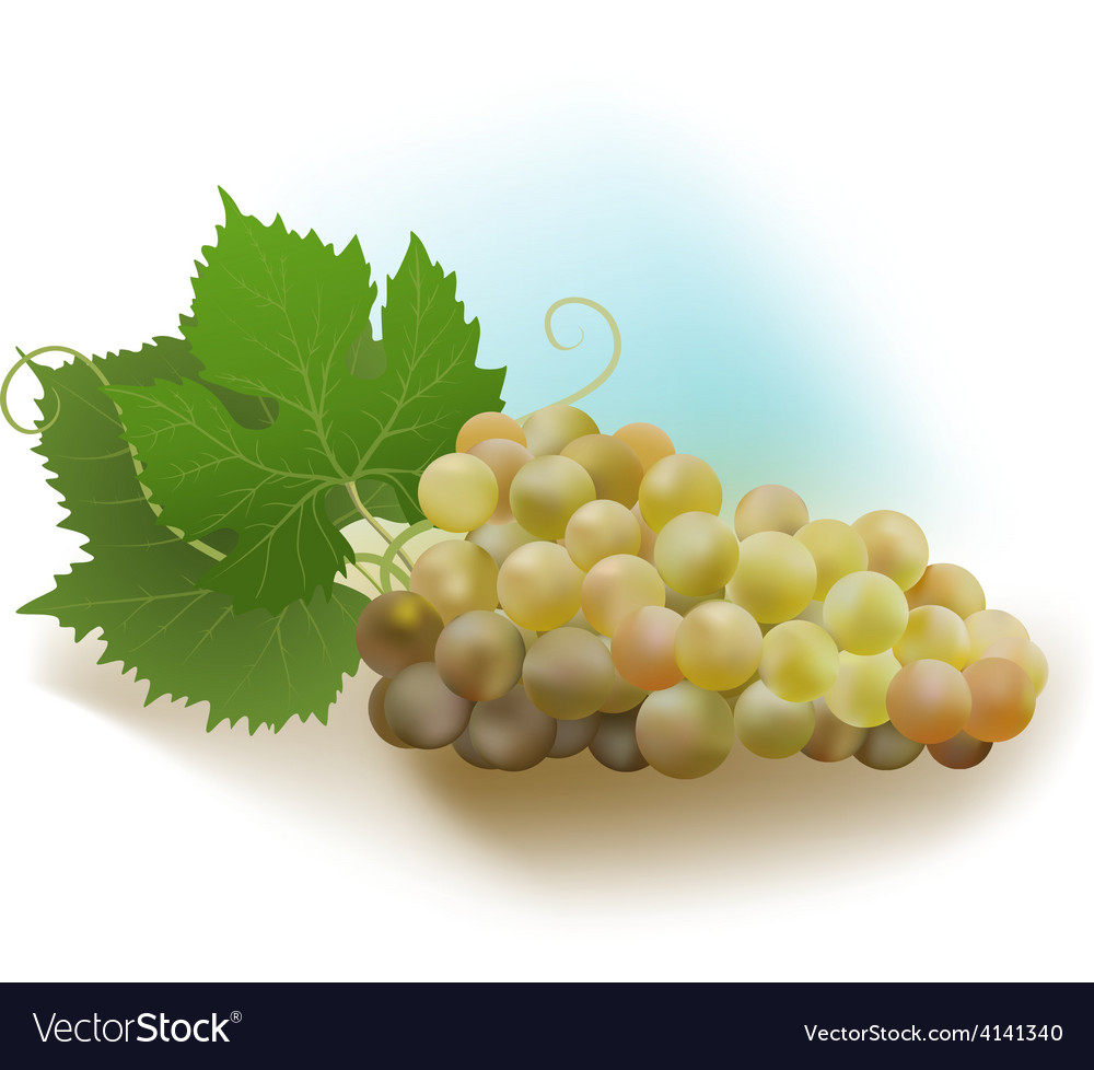 Grapes white vector   Price: 1 Credit (USD $1)