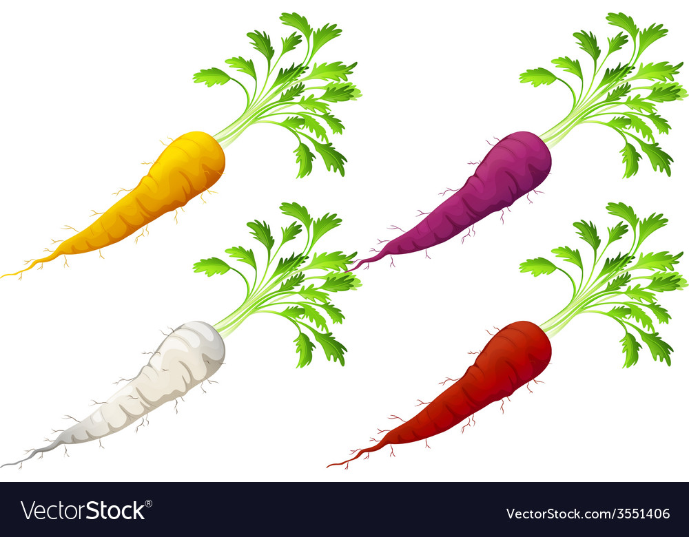 Carrots vector | Price: 1 Credit (USD $1)