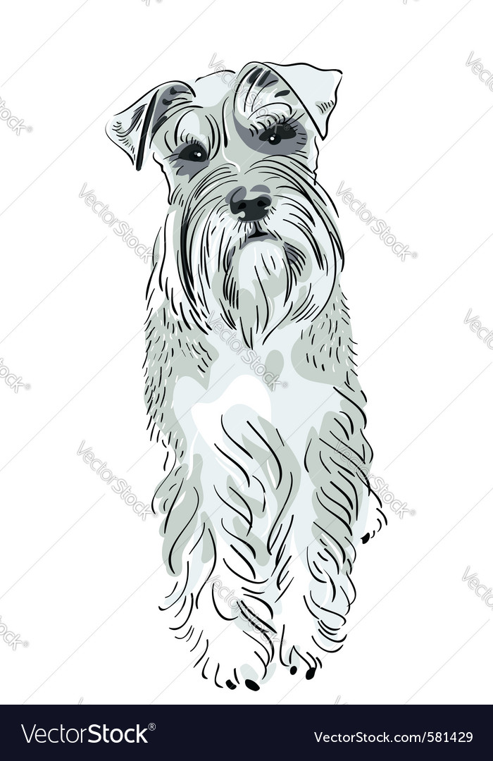Miniature schnauzer dog vector | Price: 3 Credit (USD $3)