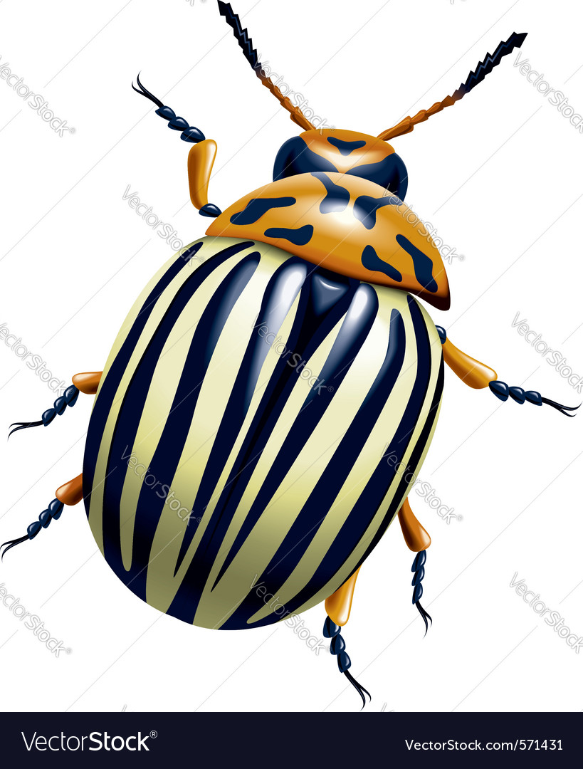 Potato bug vector | Price: 1 Credit (USD $1)
