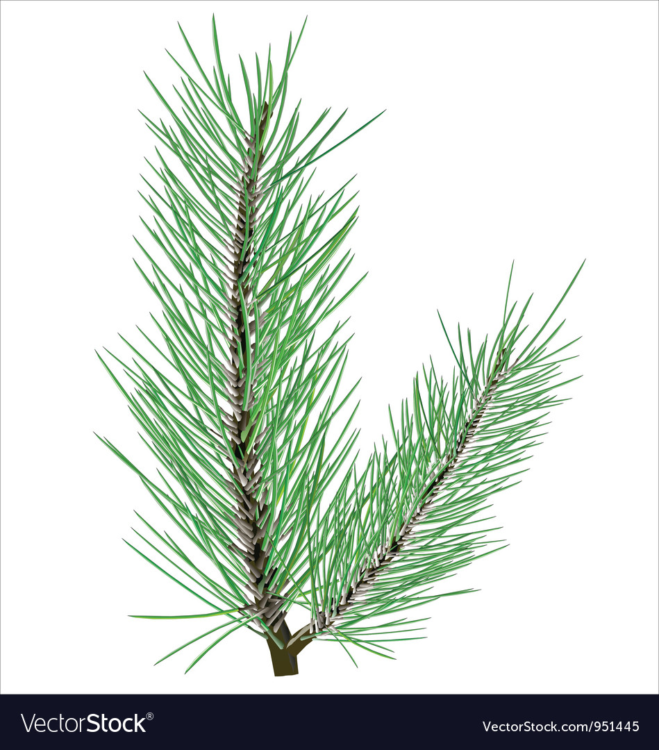 Pine branch on white background vector | Price: 1 Credit (USD $1)