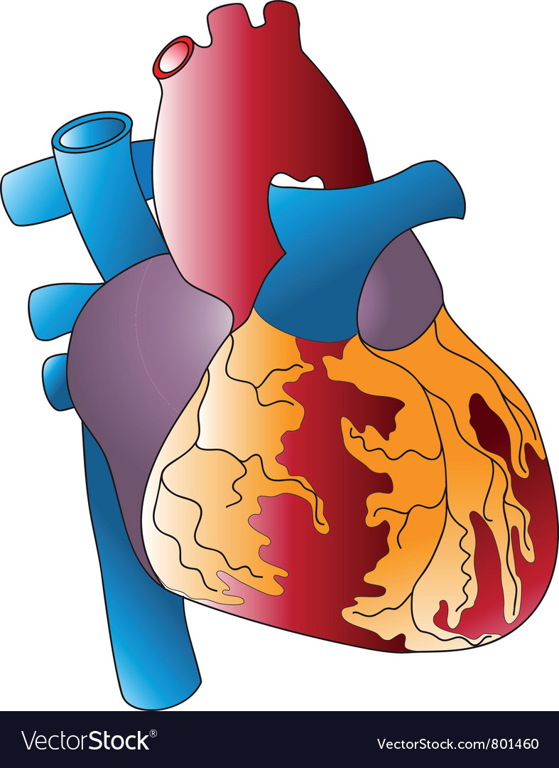 Of the human heart vector | Price: 1 Credit (USD $1)