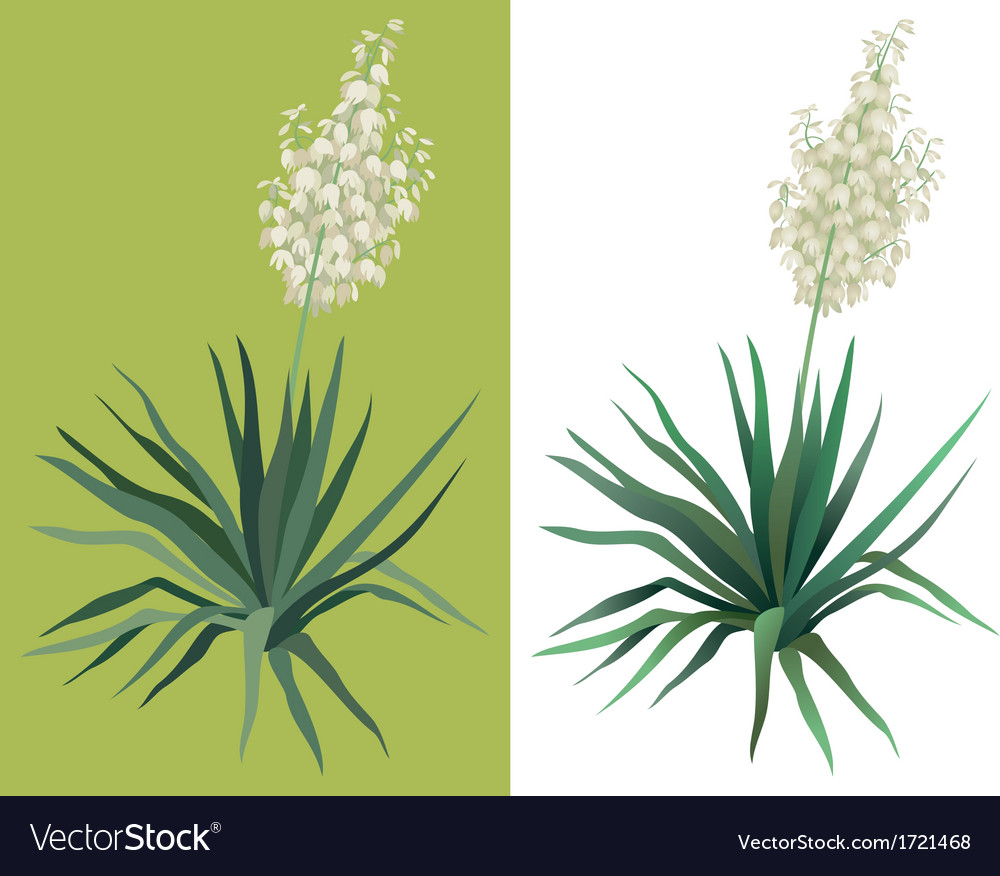 Flowering plant yucca vector | Price: 1 Credit (USD $1)