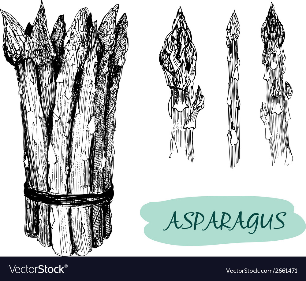 Asparagus vector | Price: 1 Credit (USD $1)