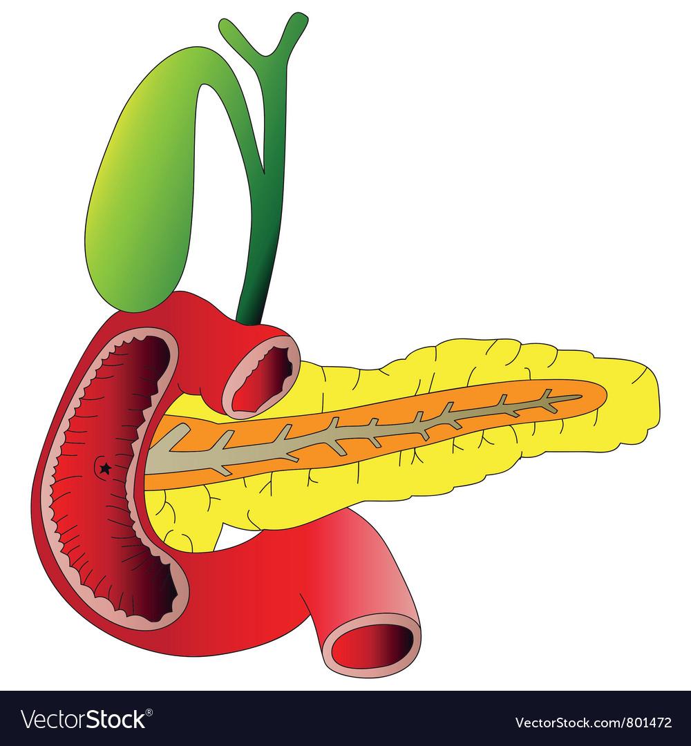 Human digestive organs the pancreas gallbladder du vector | Price: 1 Credit (USD $1)